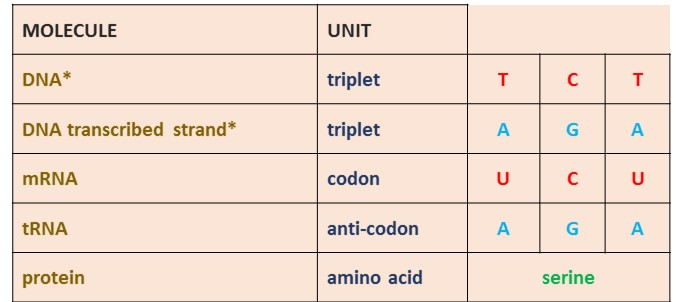 Vce Biology – From Dna Triplet To Amino Acid – Working Out The